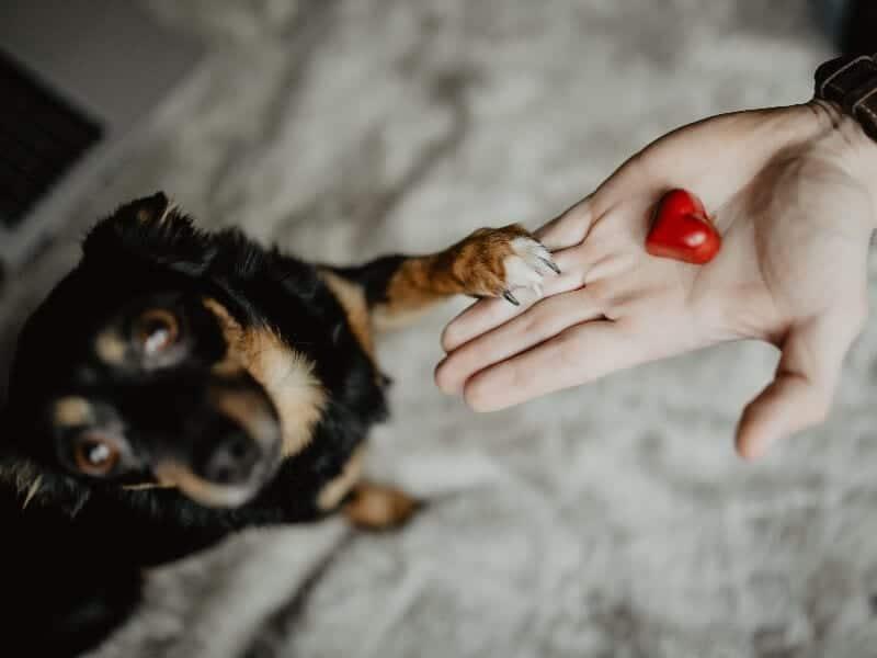 Je pup leren het commando poot geven