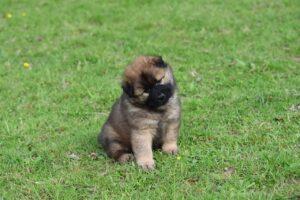 Hoe leer je een puppy zitten?
