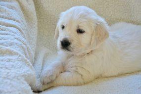 Hoe leer je een puppy liggen?