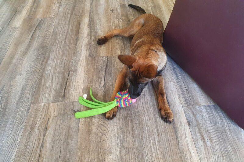 Mechelse pup kauwend op speelgoed