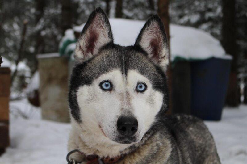 Prachtige Husky hond in sneeuw