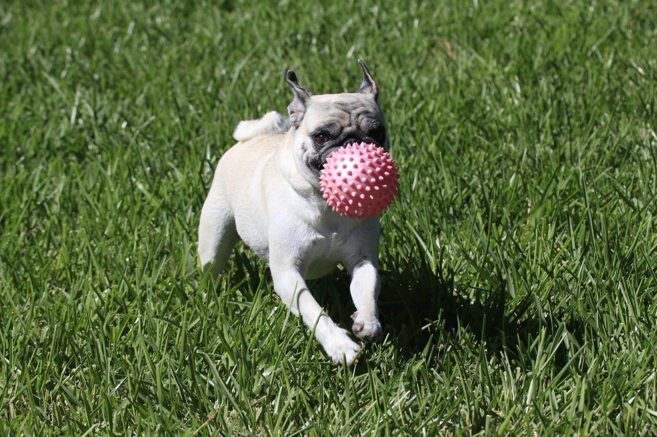 Franse Buldog aan het spelen met een bal