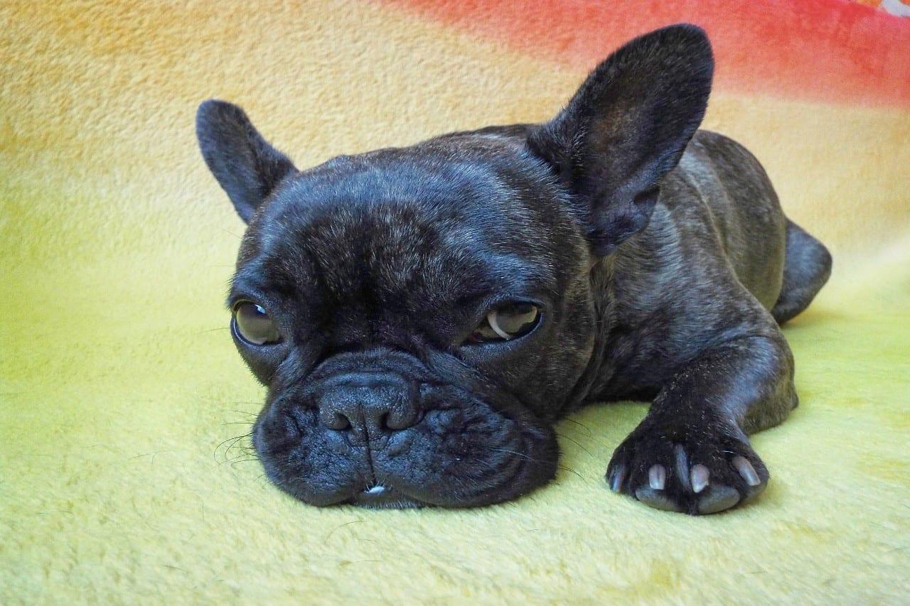 Franse Buldog puppy bijna slapend op vloerkleed