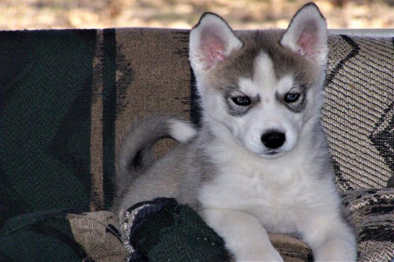 Beste voer voor je Husky Pup  - Top 5