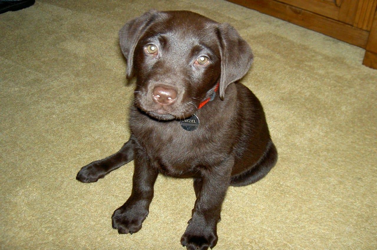 Labrador pup met naamplaatje om de halsband