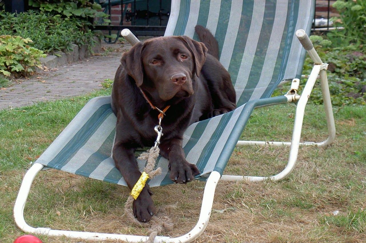 Labrador liggend in relaxstoel