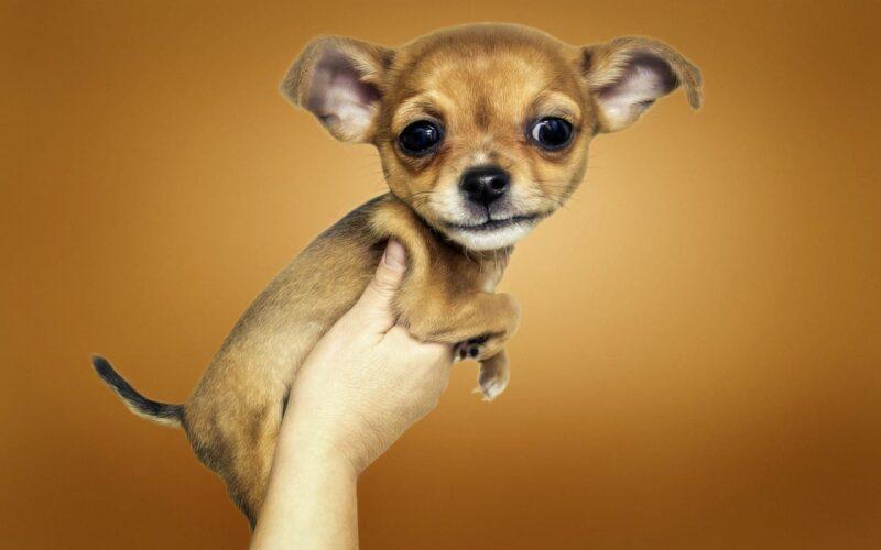 chihuahua vast gehouden in 1 hand