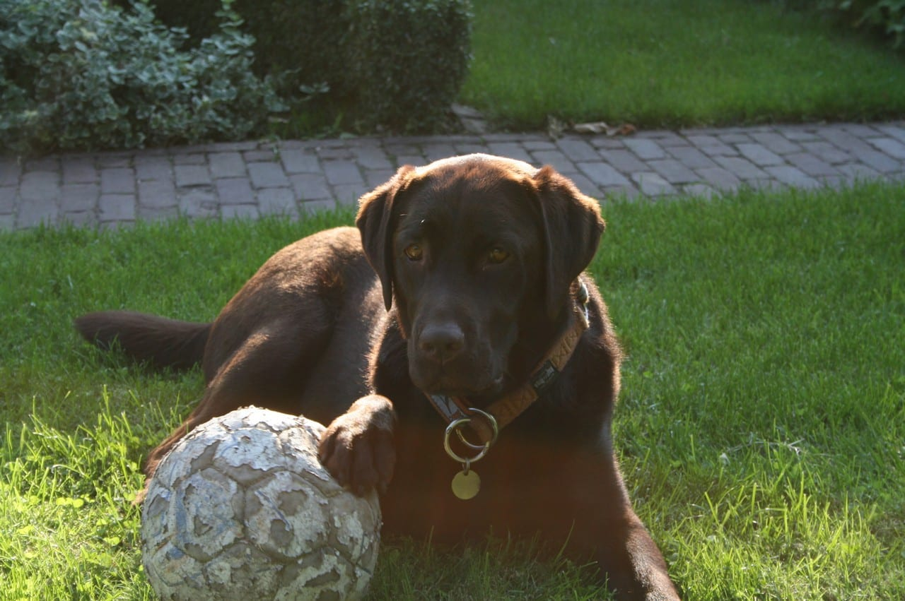 Labrador met poot op een bal