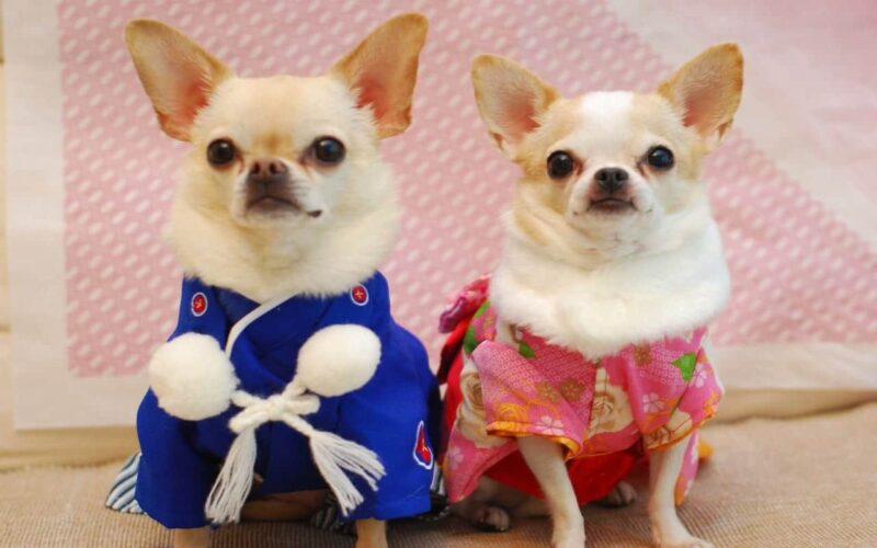 chihuahua's aangekleed in pakjes