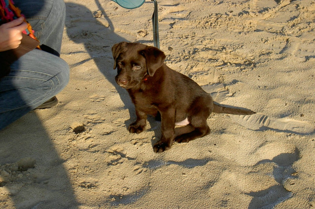 Labrador puppy in het zand