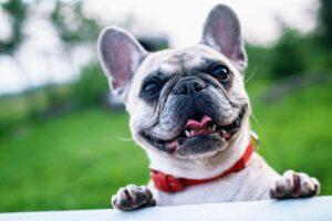 Franse Bulldog Geheimen Review – Is het boek de moeite waard?