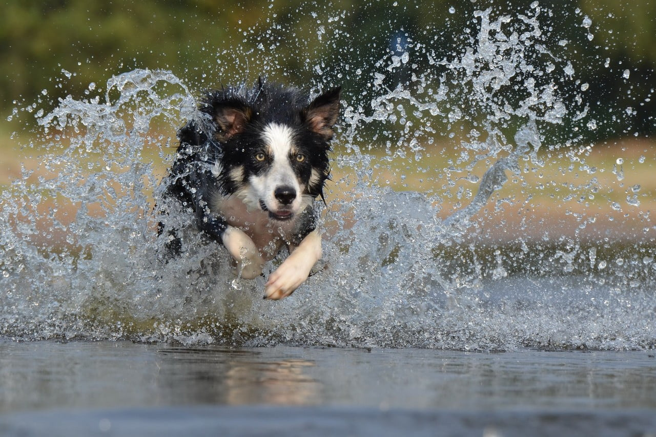 Bordercollie lekker aan het spelen in het water
