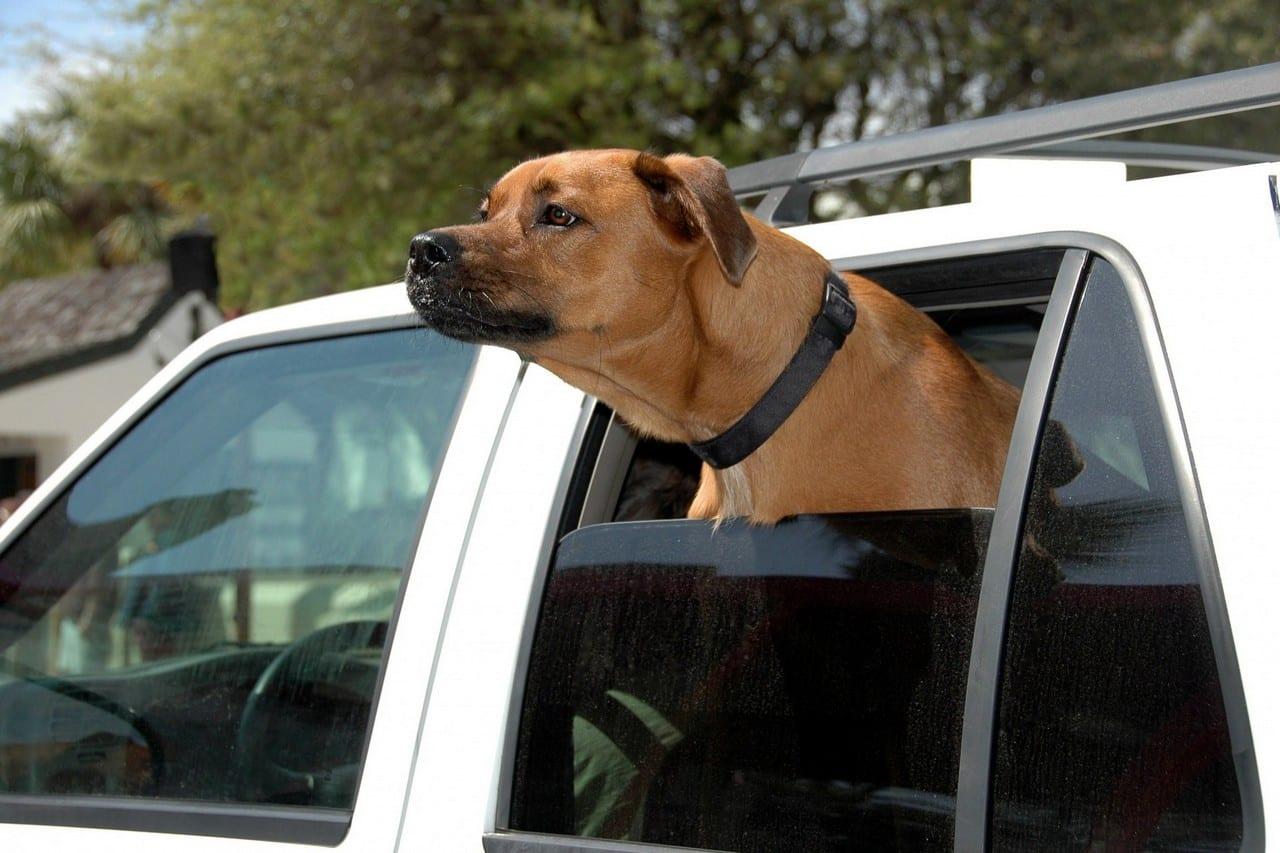 Blije hond in de auto met kop uit het raam