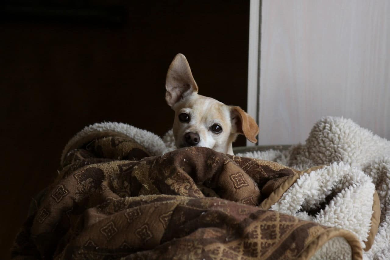 Chihuahua lui liggend op de bank