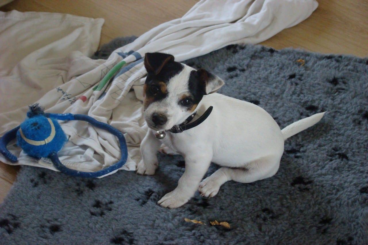 Prachtige Jack Russel pup