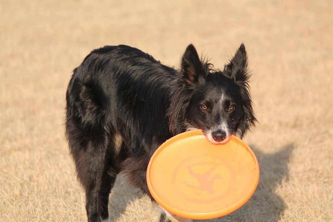 Bordercollie met frisbee in de bek