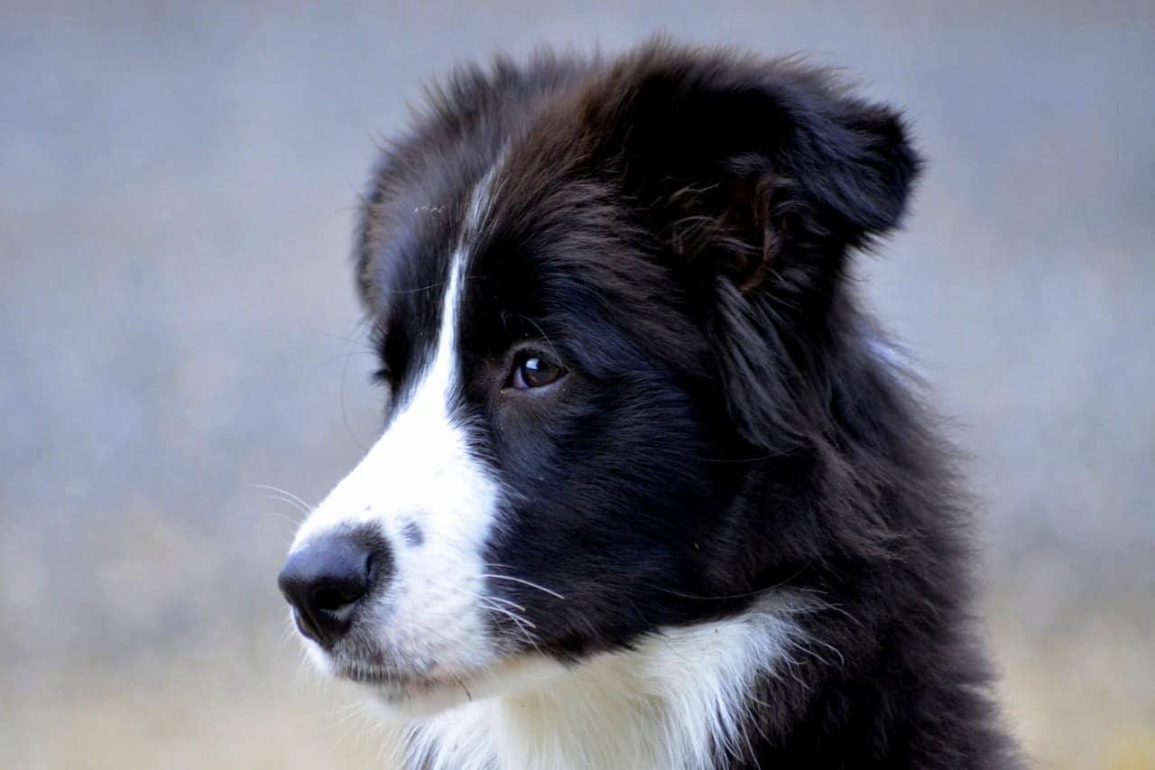 Bordercollie puppy