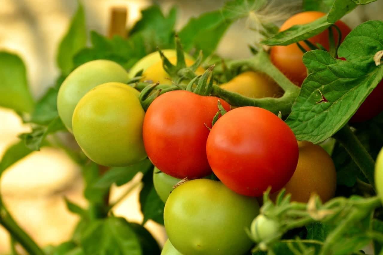 Tomatenplant giftig voor honden
