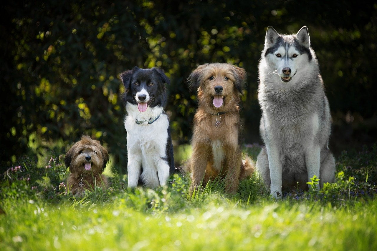 Bordercollie tussen andere rassen honden