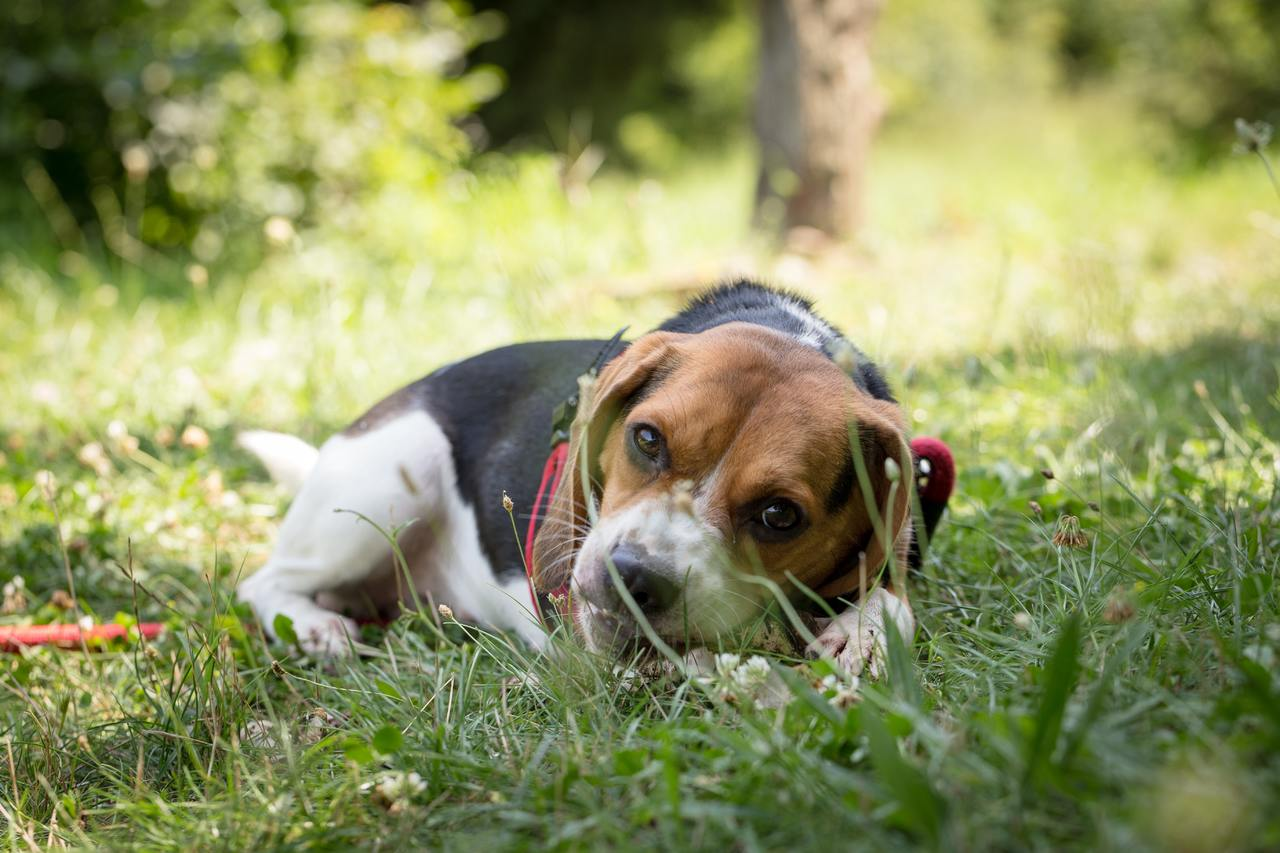 Prachtige Beagle