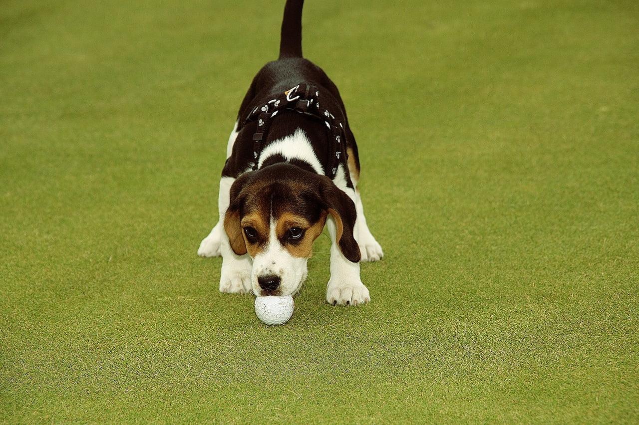Beagle met bal aan het spelen