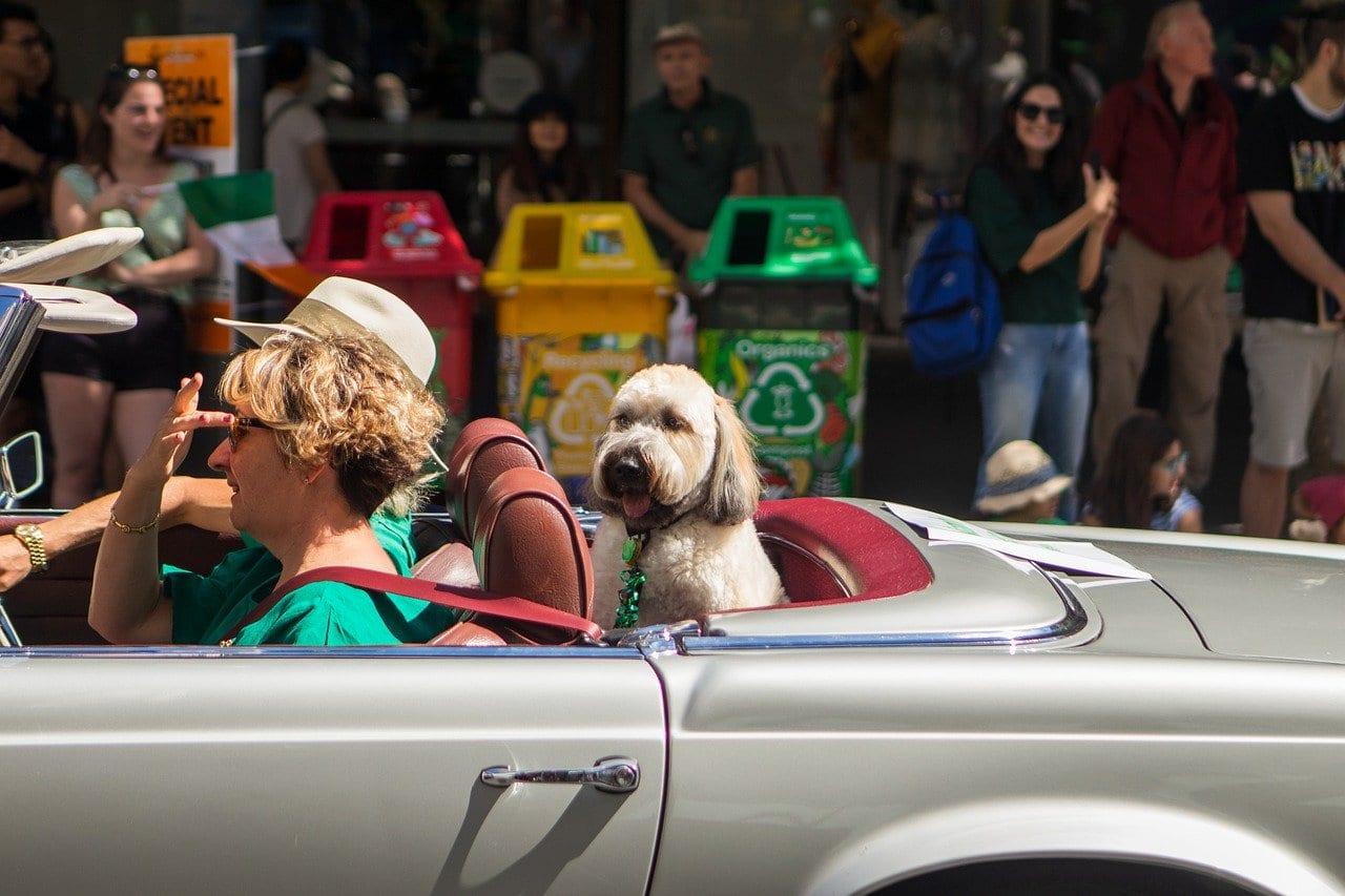 Hond zit tevreden achterin een auto