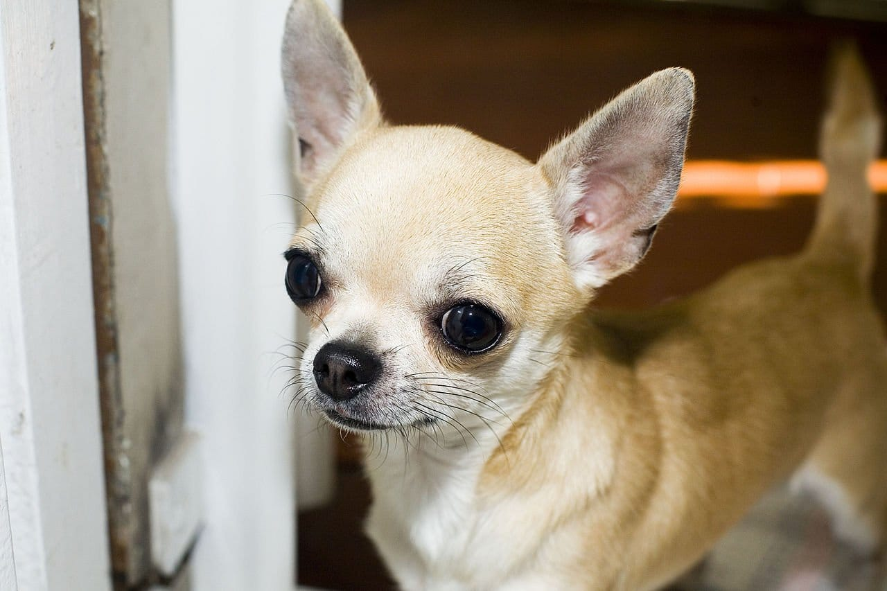 Prachtige Chihuahua