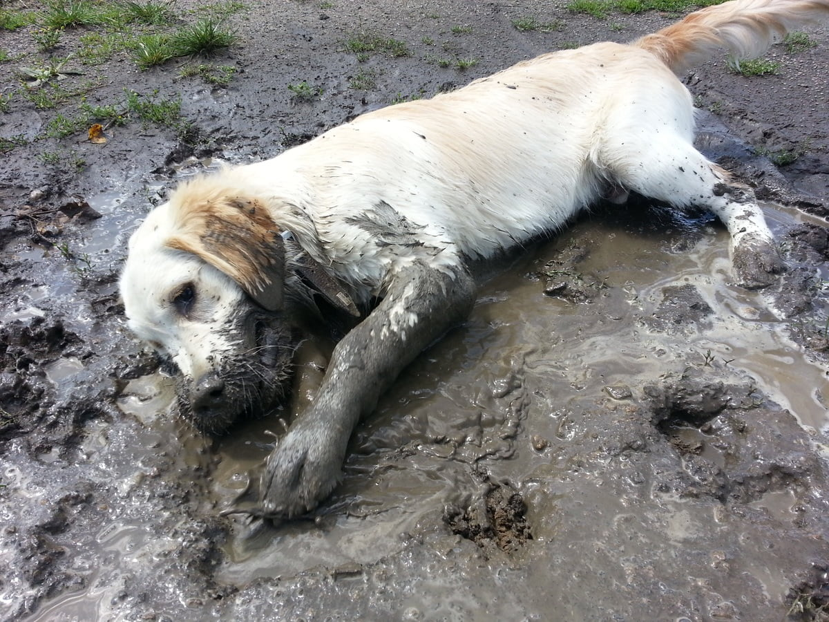 Hond in de modder liggend