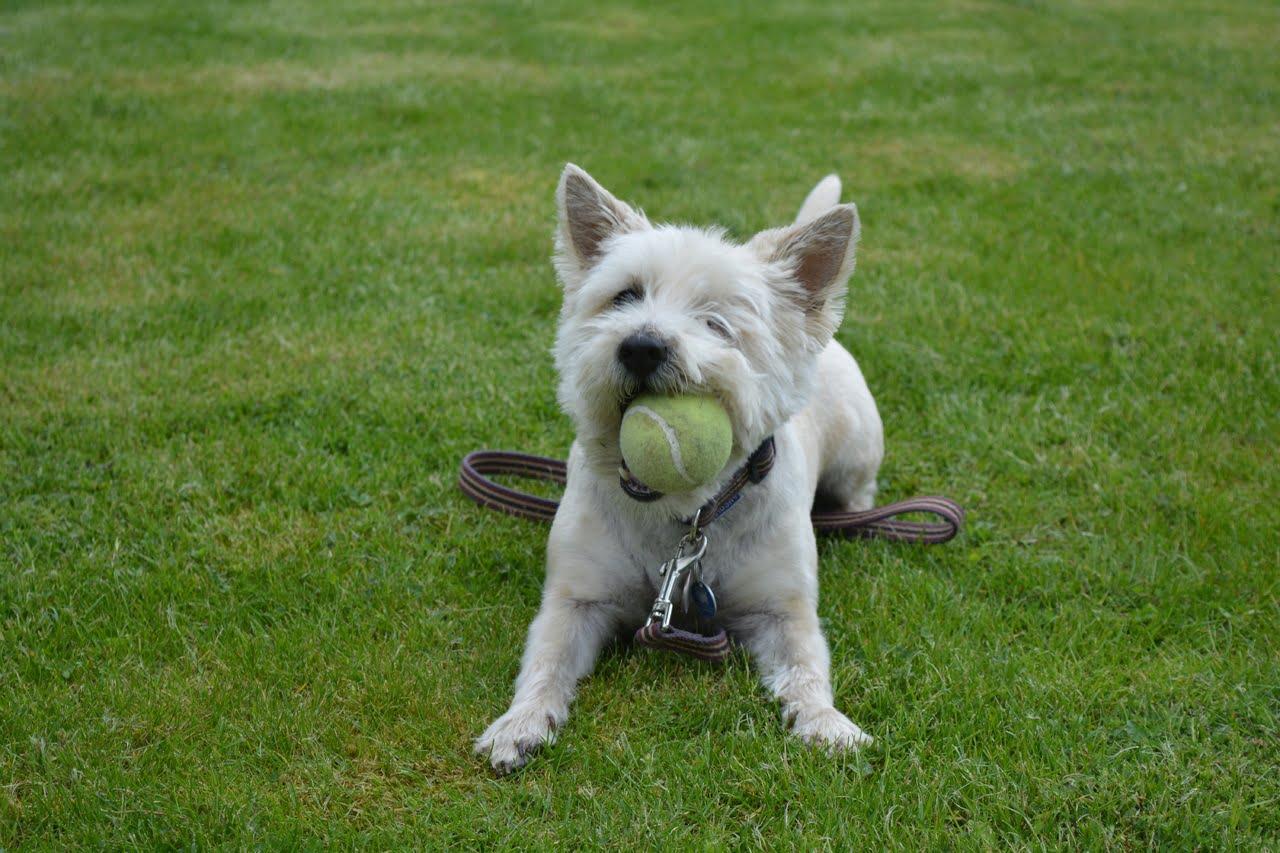 Kauwspeelgoed voor puppy's – Beste top 3