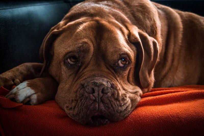 Beste hondenmand voor een grote hond - Top 3