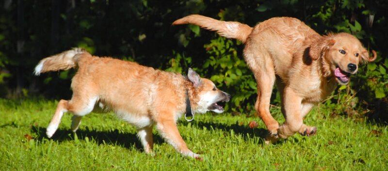 Beste Puppyren voor een pup: Dit zijn de 4 beste rennen voor je pup