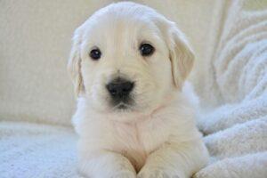 Benodigdheden voor het adopteren van een pup
