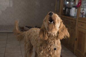 Een blaffende hond wanneer de deurbel gaat! Wat kan je eraan doen?