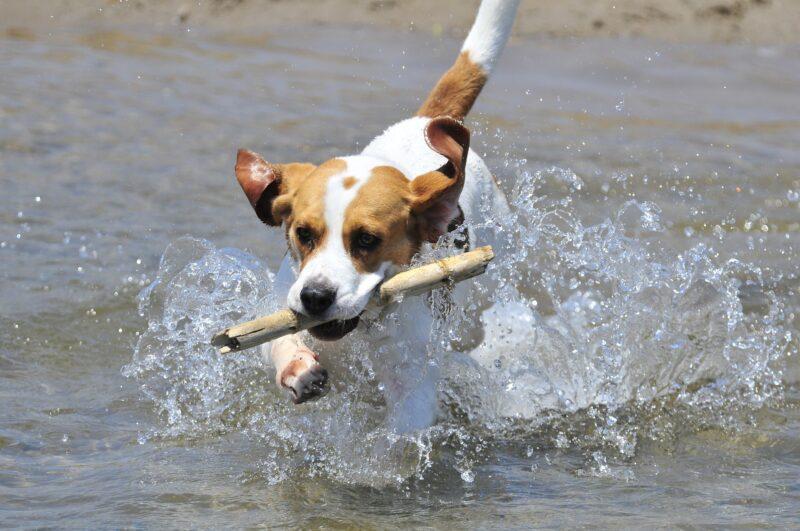 Kan een Beagle alleen thuis blijven?