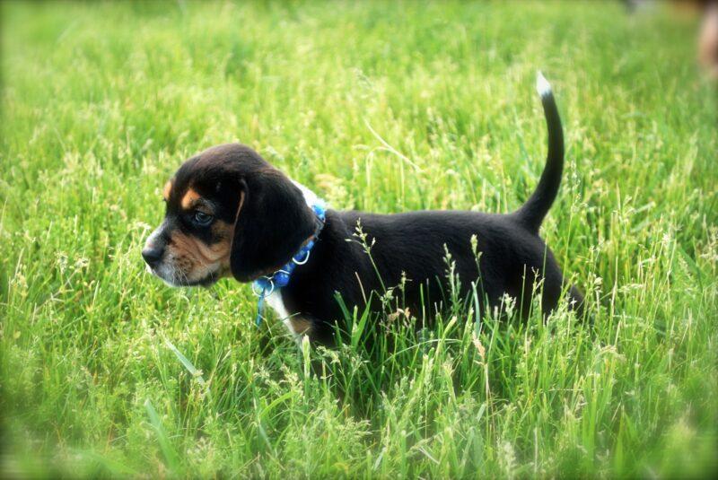 Wat kost een Beagle pup met stamboom?