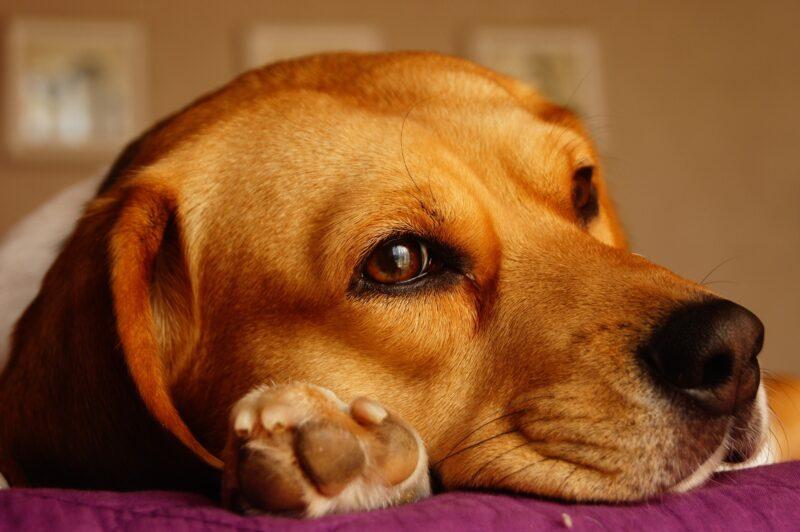Wat moet je weten over Beagles?